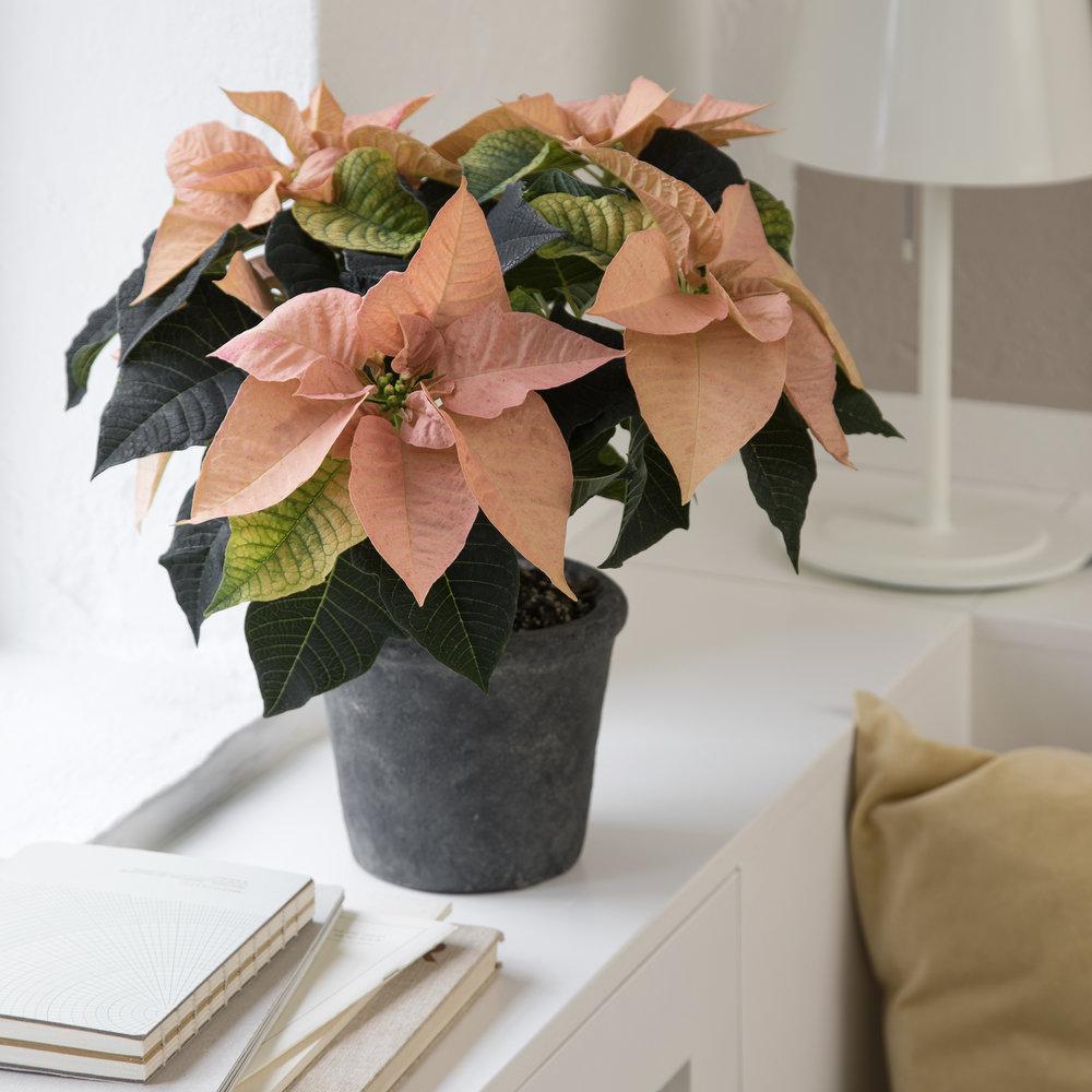 Poinsettia Q-ismas Oak 13cm