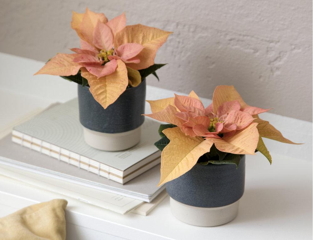 Poinsettia Q-ismas Oak 6cm