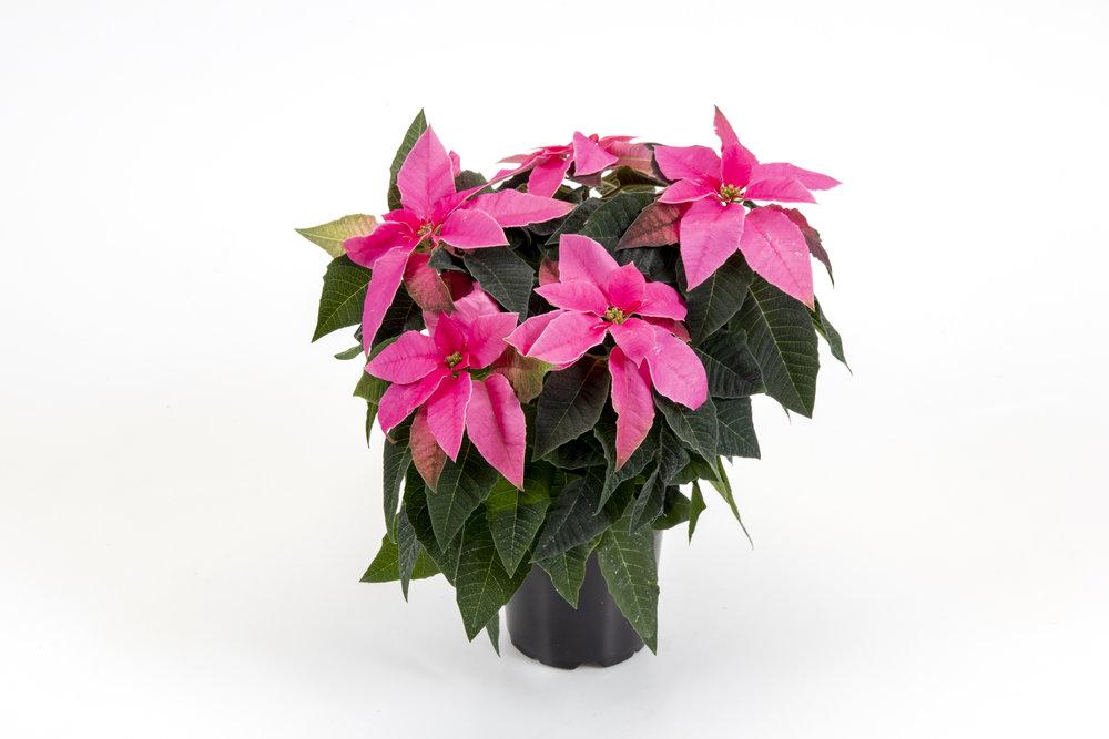 Princettia Hot Pink 13cm