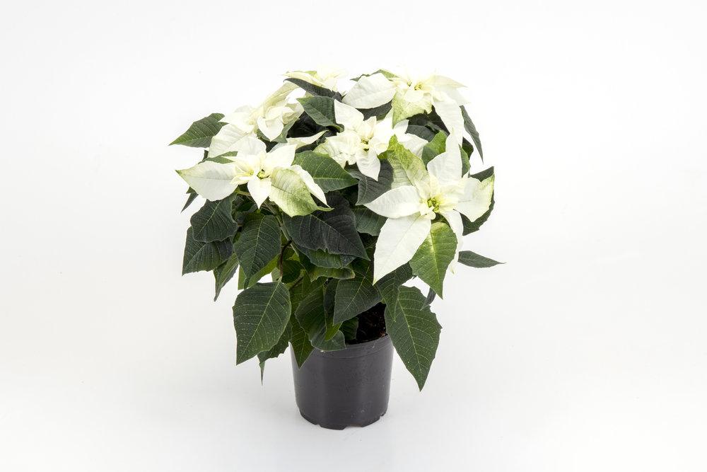 Princettia White 13cm
