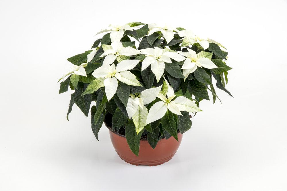 Princettia White 23cm