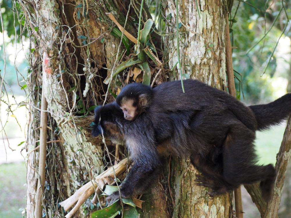 Monkeys - Jardim Botanico - Rio de Janeiro