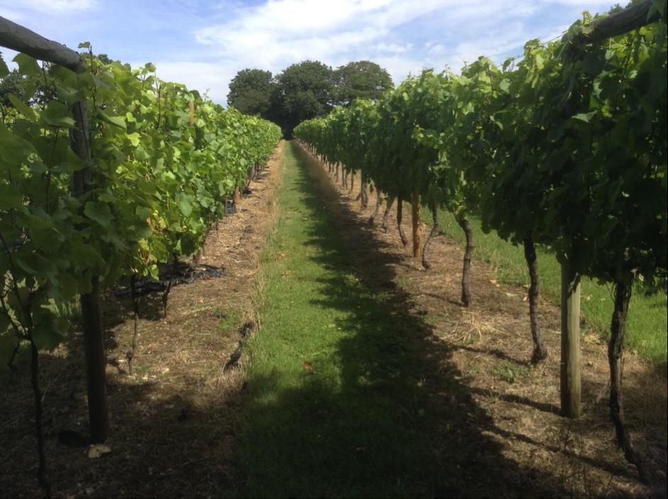 The vineyard mid summer