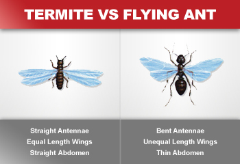 Flying termites (swarming) are commonly identified as flying ants. Above are some visual differences.