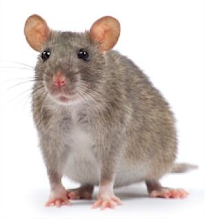 rat square.jpg