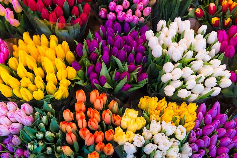 come-coltivare-tulipani-4.jpg