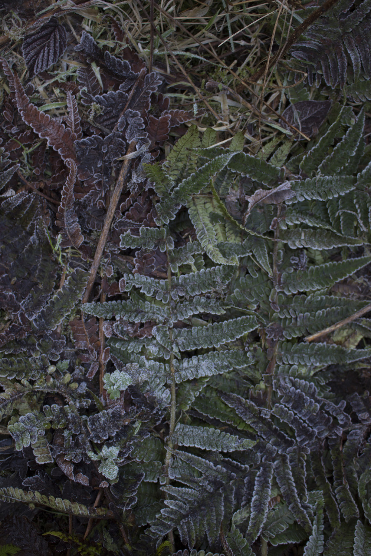 leaves frost1.jpg