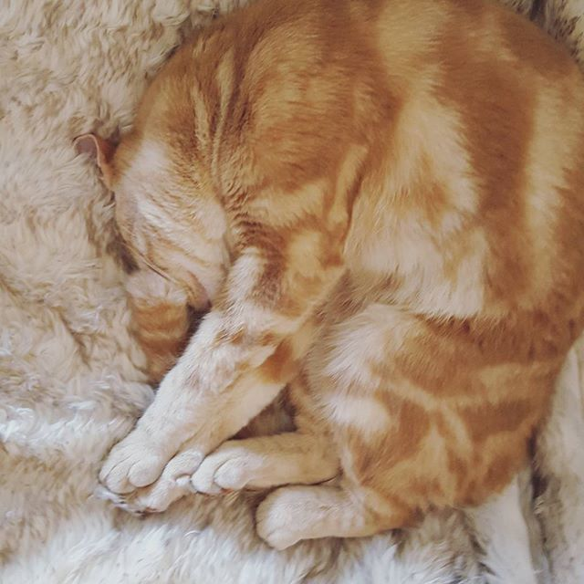 Love this snuggly ball of fluff ❤ #catsofinstagram #cat #snuggle #cosy #fauxfur #ginger #gingercat
