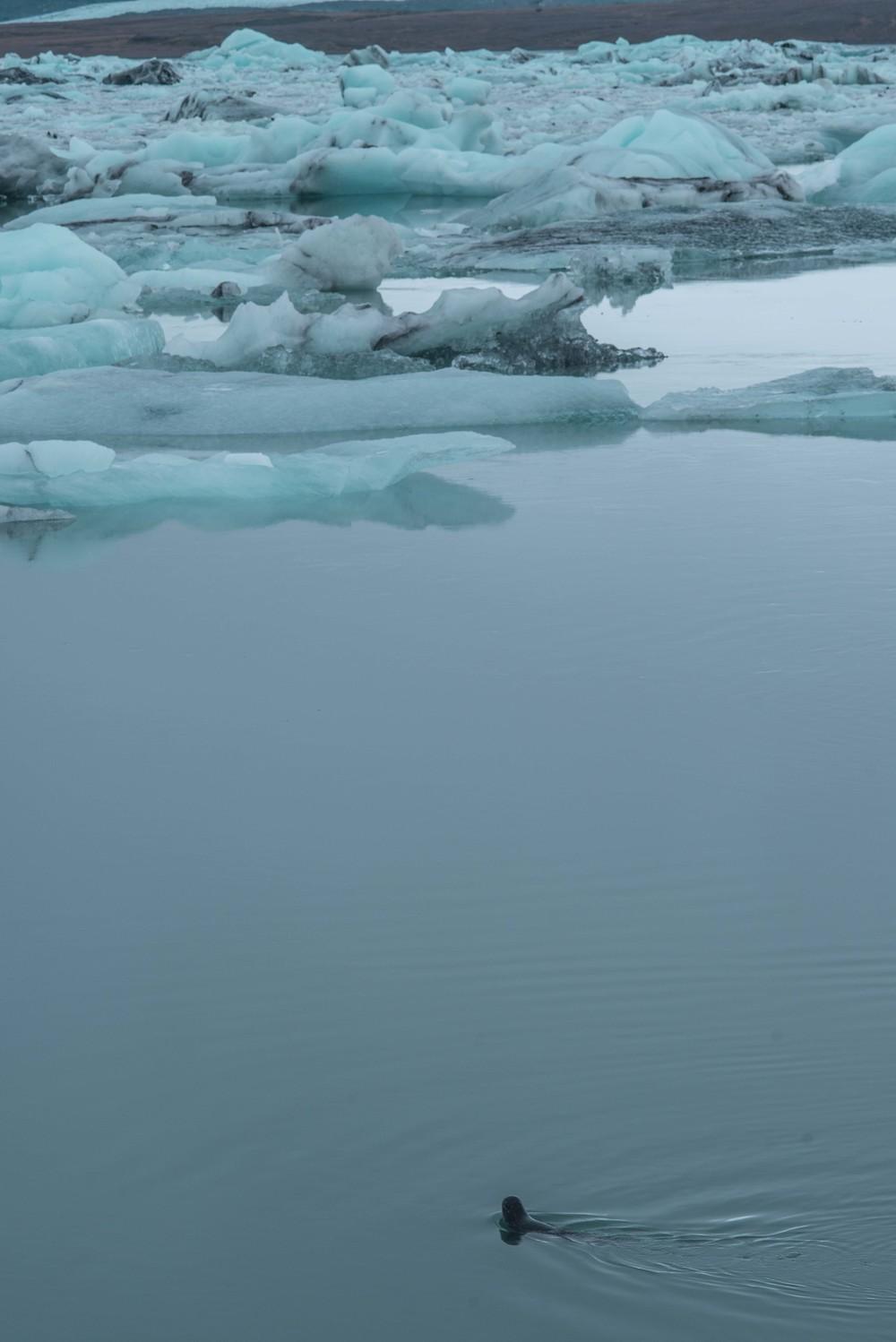 Seals in the glacial Lagoon.jpg