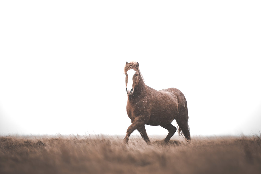 Icelandic horse in the pouring rain.