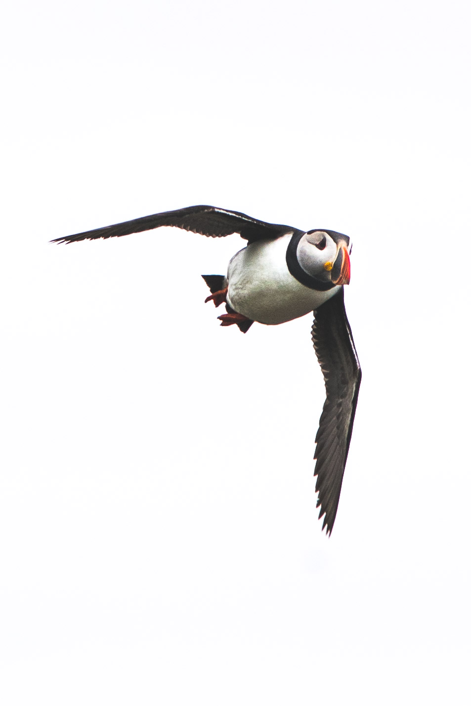 Puffin in mid-flight. Quite a challenge.