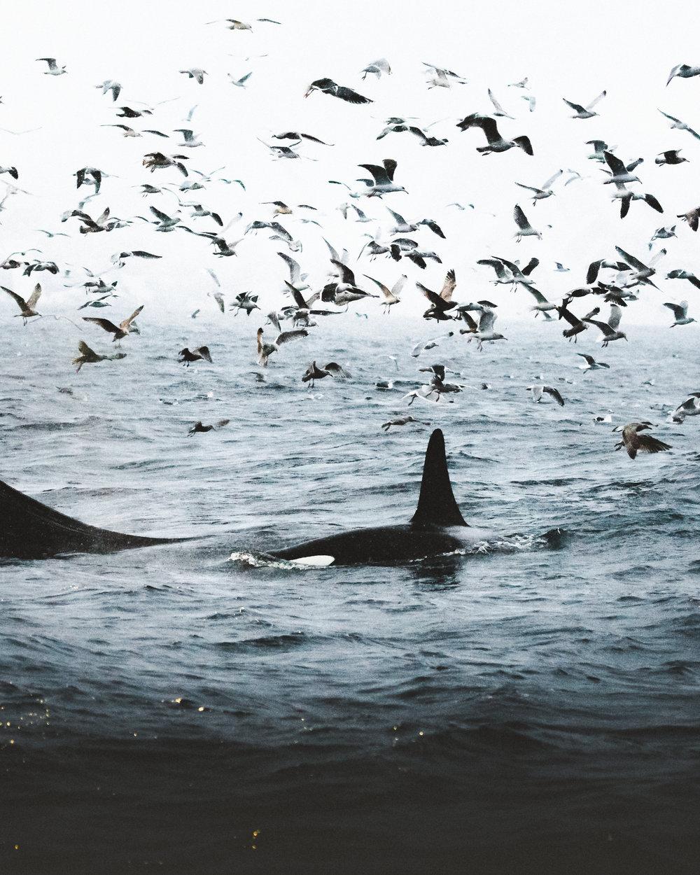 Orcas feeding on fish in open sea, Norway