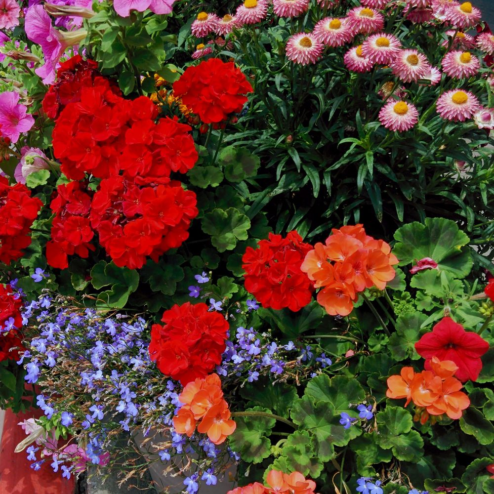 Flower Pot with Geraniums, Petunias and Lobelias