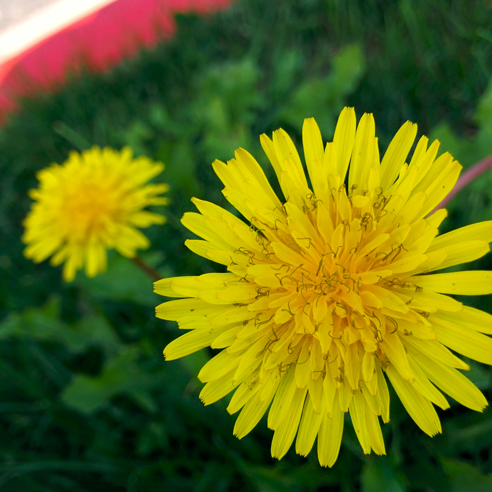 Dandelion by Curbside