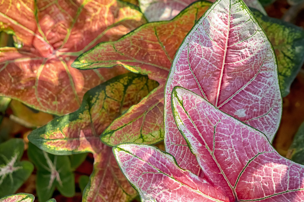 Pink and Green Caladium Leaves