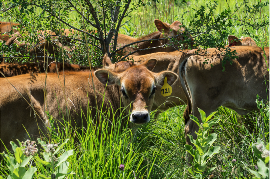 These Nebraska grassfed cattle are enjoying the protection of trees in a silvopasture design that helps increase the fertility of the soil. Photo credit: Alexis Bonogofsky