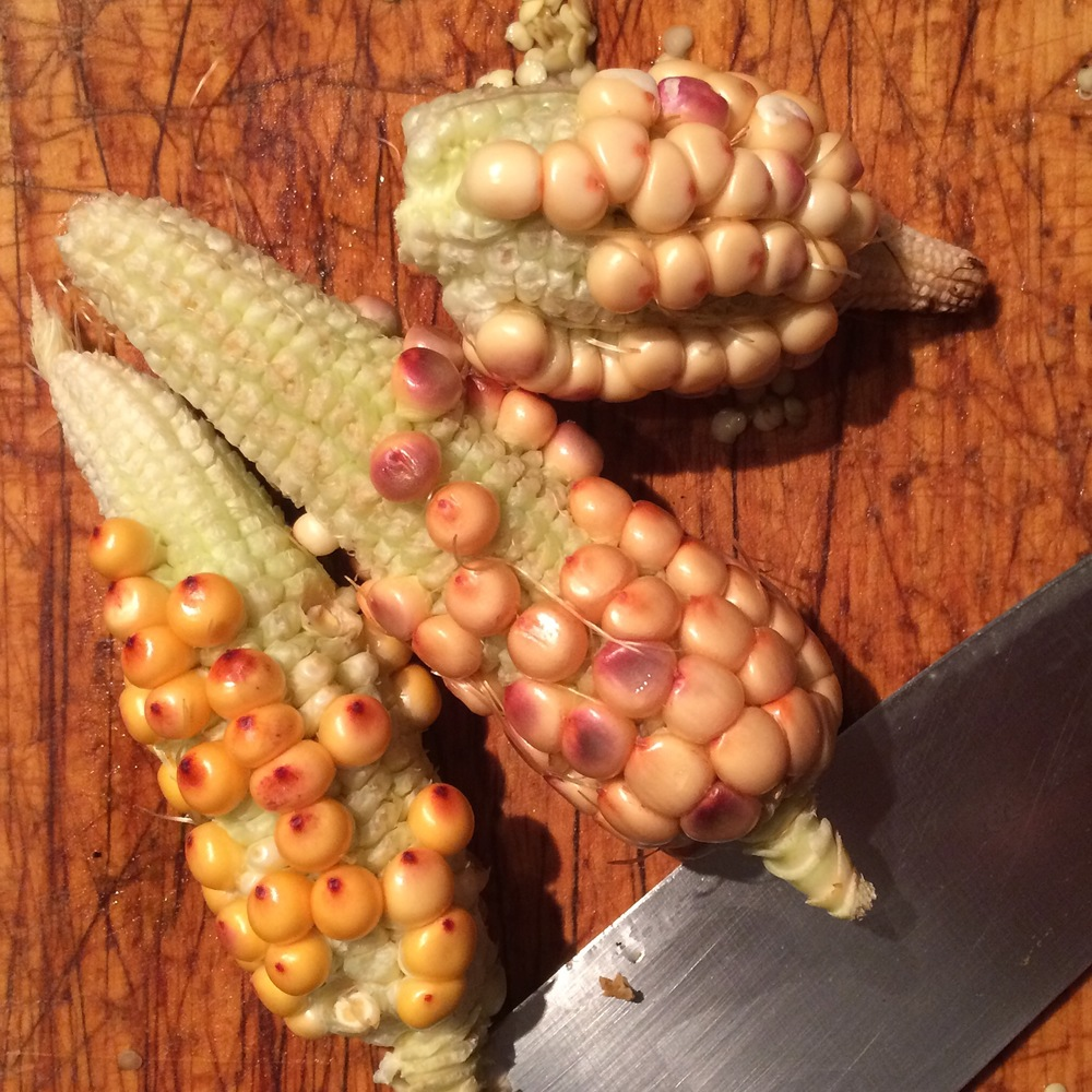 corn heirloom buckhead homestead