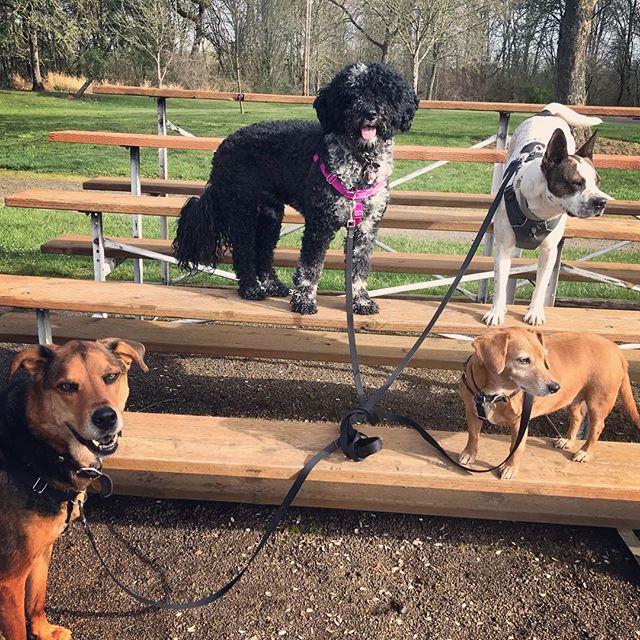 Belle, Soscel, Potato and Sable playing on the bleachers after our morning hike #pnwdogs #oregondogs #corvallisdogrunner #seniordogsrule #portuguesewaterdog #muttskickbutt #corvallis #positivedogtraining