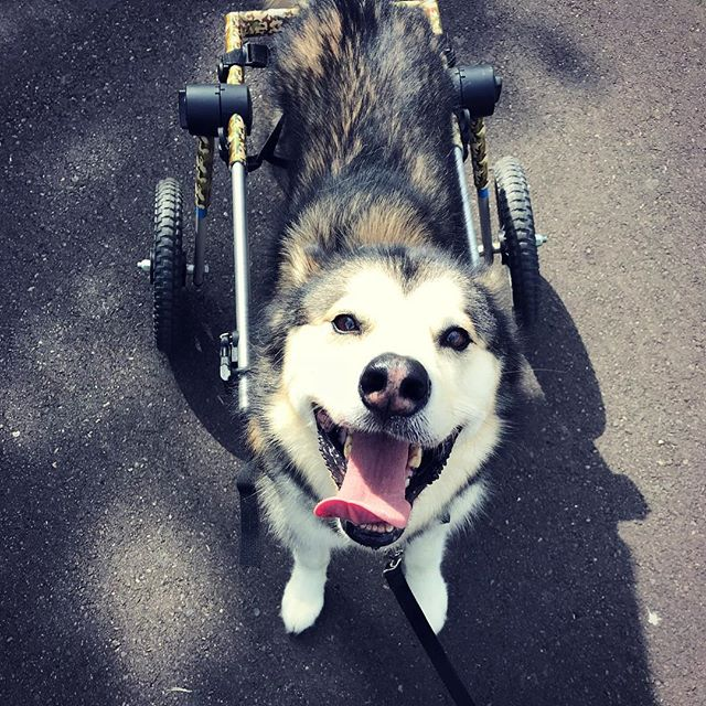 Kira is one happy hiker! She has been a great addition to our morning hiking crew. We are working hard to help her build muscles in her back legs. Because we focus on small on leash groups, we are able to take dogs of all sizes, ages, breeds and abilities #poppingwheelies #corvallisdogrunner #oregondogs #malamute #pnwdogs #corvallis #philomath #wheelchairdog