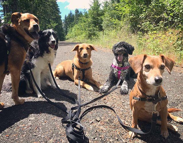 Happy Monday crew 🐾#corvallisdogrunner #oregondogs #muttskickbutt #bordercolliesofinstagram #pwd #portuguesewaterdog #seniordogsrule #pnwdogs #corvallis #hikingwithdogs #traildog #packwalk #sciencebaseddogtraining #willamettevalley