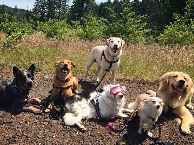 We love 6 packs 🐾 _____________________________________ #corvallisdogrunner #oregondogs #pnwdogs #blueheelerlove #muttskickbutt #americanshepherd #deafdogsrock #chihuahuasofinstagram #goldenretriever #corvallis #packwalk #hikingwithdogs #adventuredog #rexspecs