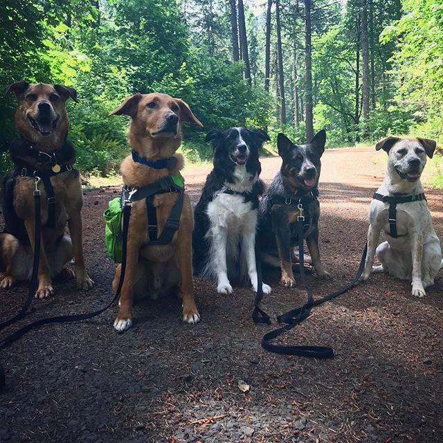 #corvallisdogrunner #corvallis #pnwdogs #oregondogs #muttskickbutt #bordercolliesofinstagram #blueheelerlove #packwalk #hikingwithdogs #onleash
