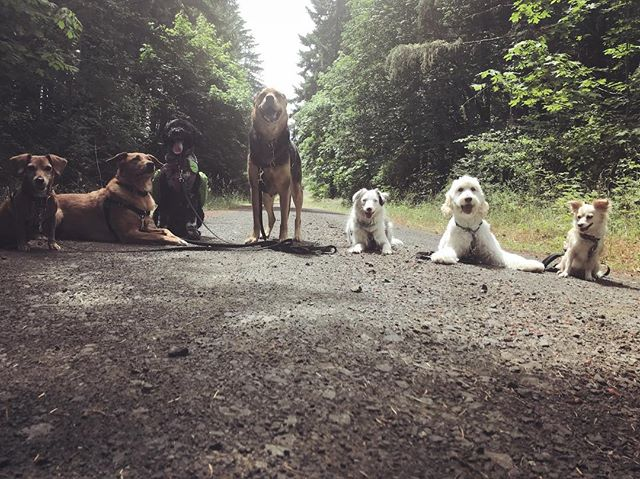 Tails & Trails is today at noon! Check out our FB event page for more info 🐾 #tailsandtrails #oregondogs #pnwdogs #dogfriendly #willamettevalley #corvallis #philomath #hikingwithdogs #adventuredog #packwalk #muttskickbutt #portuguesewaterdog #pwdsofinstagram #americanshepherd #doodlesofinstagram