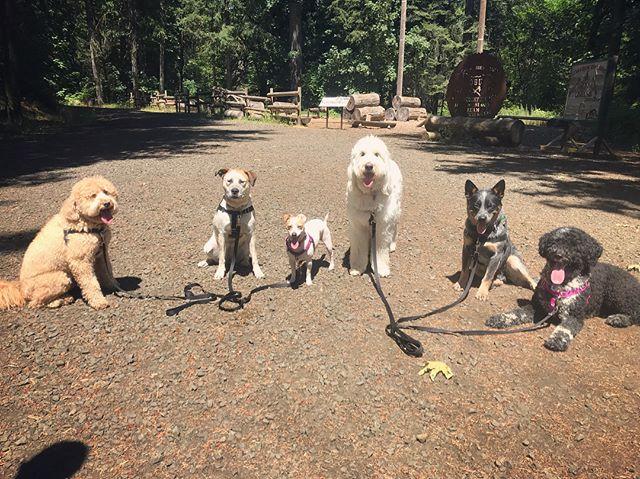#corvallis #corvallisdogrunner #packwalk #dogwalker #dogtrainer #dogadventures #oregondogs #pnwdogs #dogsoforegon #trainingwalk #dogpack #dogsandpals #squadgoalsachieved #atireddogisahappydog #bestwoof #sunsouttonguesout #dogsoftheday #fitdogs #instadogs #dogsofinsta