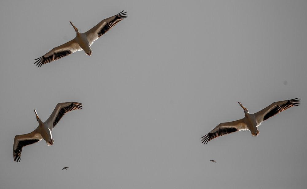 pelicanfly.jpg