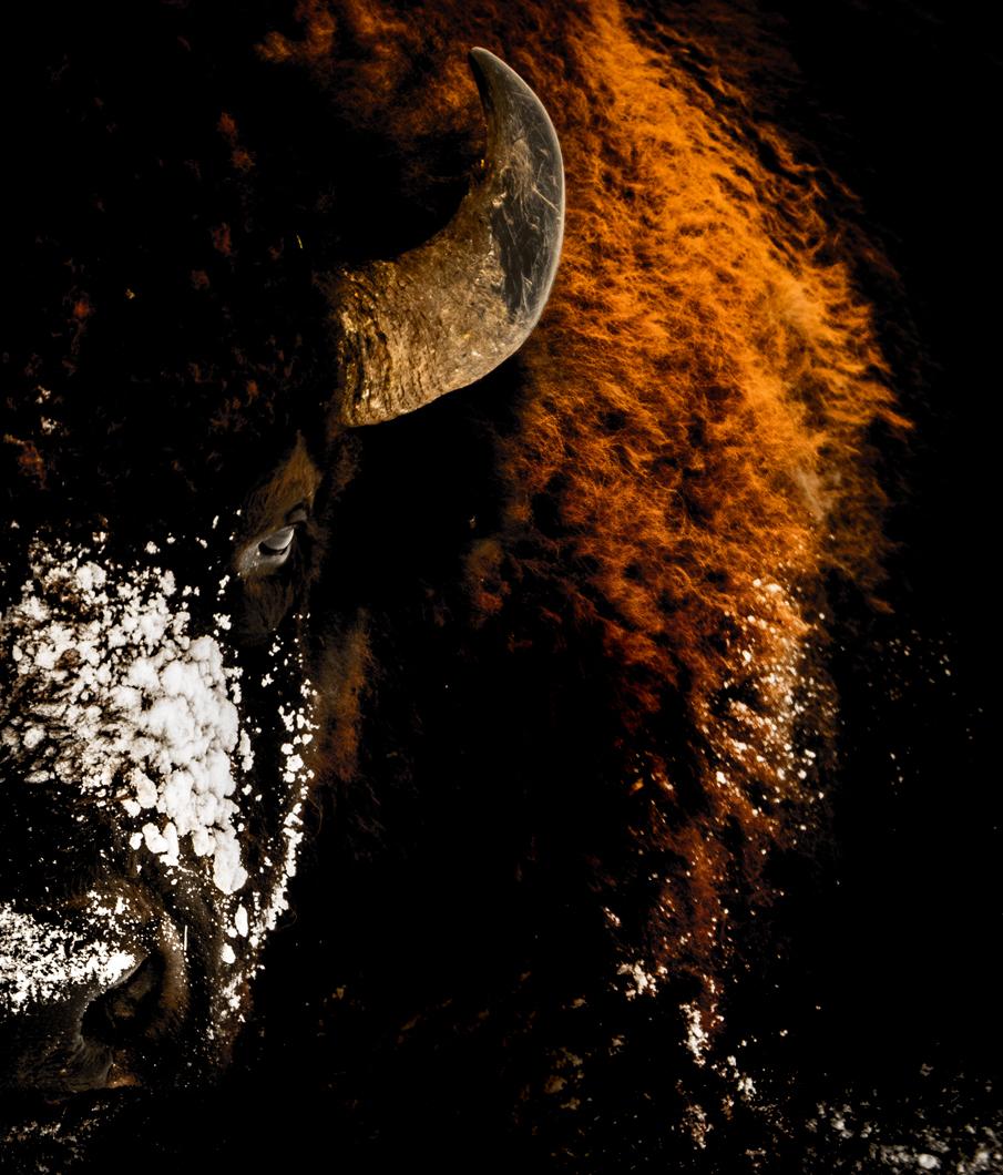 bisonportfolio.jpg
