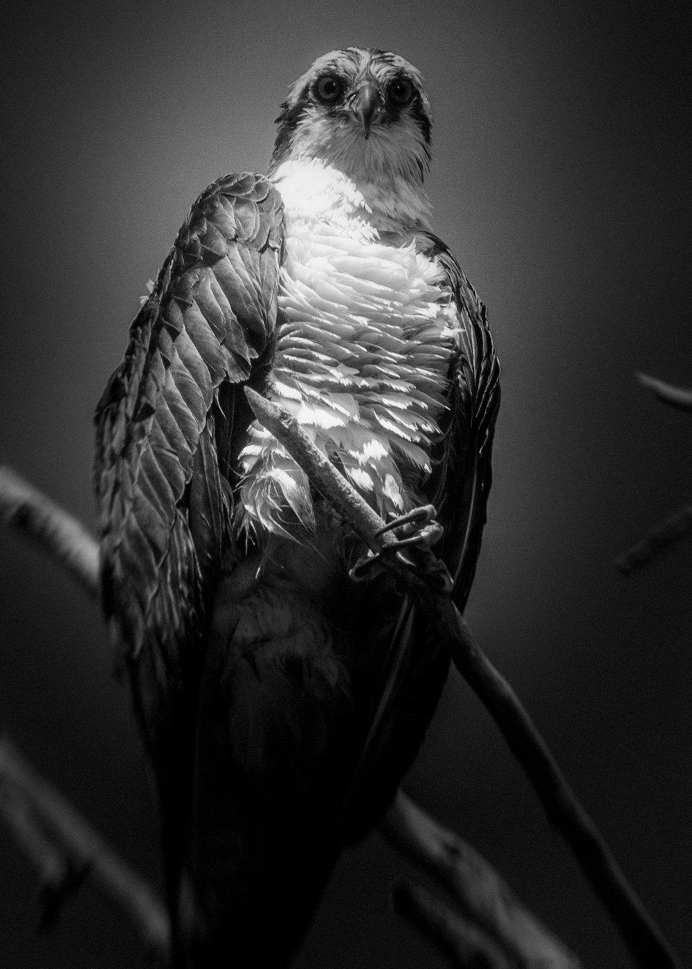 osprey1eg.jpg