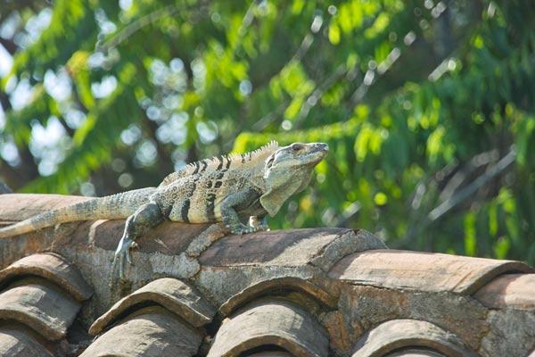 iguana1171.jpg