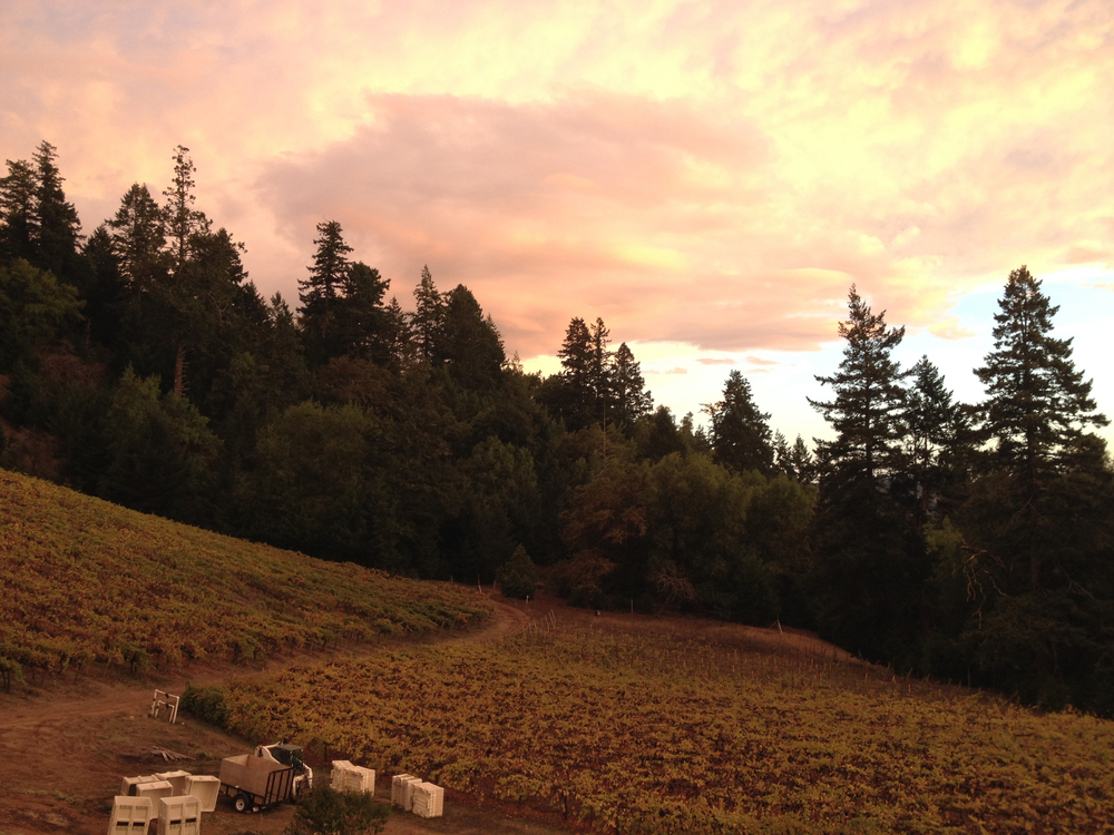Preparing to pick the Fort Ross-Seaview vineyard at sunrise