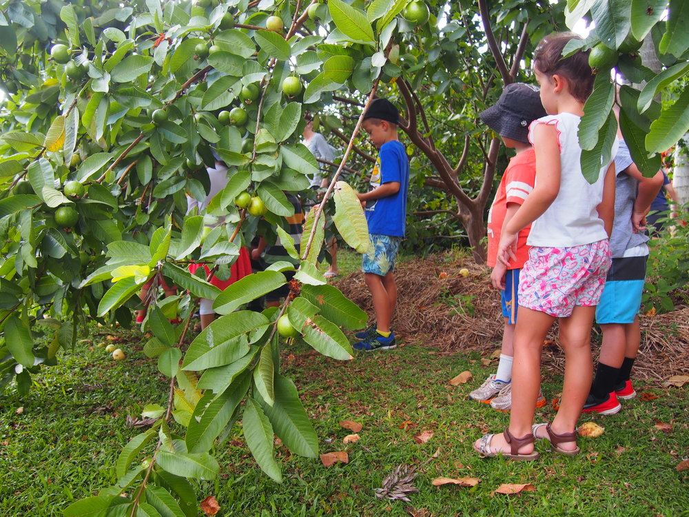 Jnr. urban farmers harvest beautiful guava's from the verge tree. Everyone learns how to pick.
