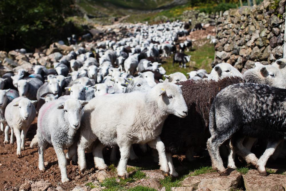 Lake District - Langdale Sheep 2.jpg