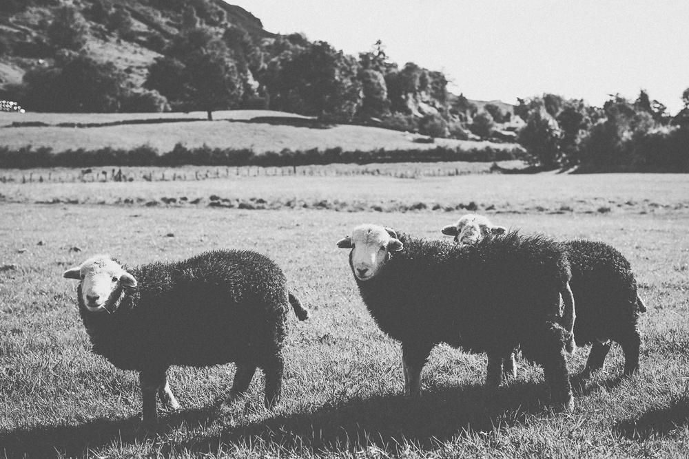 Lake District - Langdale Sheep.jpg