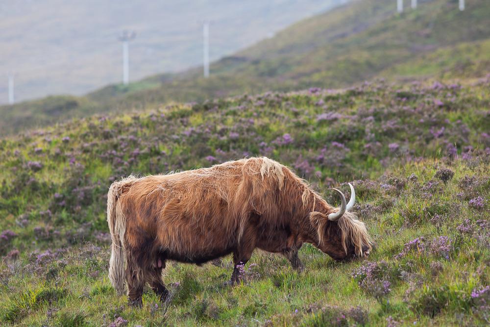 Isle of Skye - Highland Cow.jpg