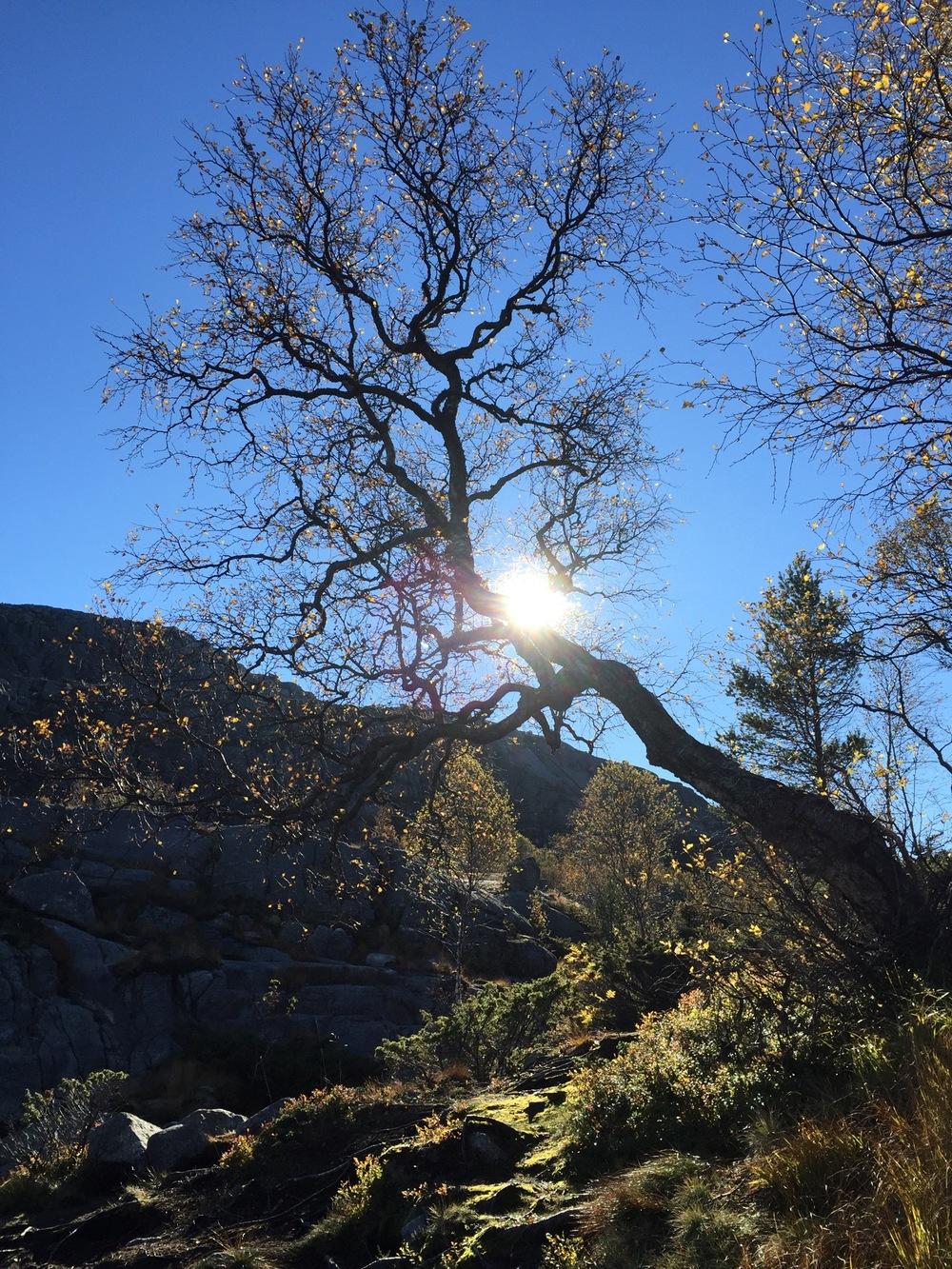 Preikestolen - Tree.jpg