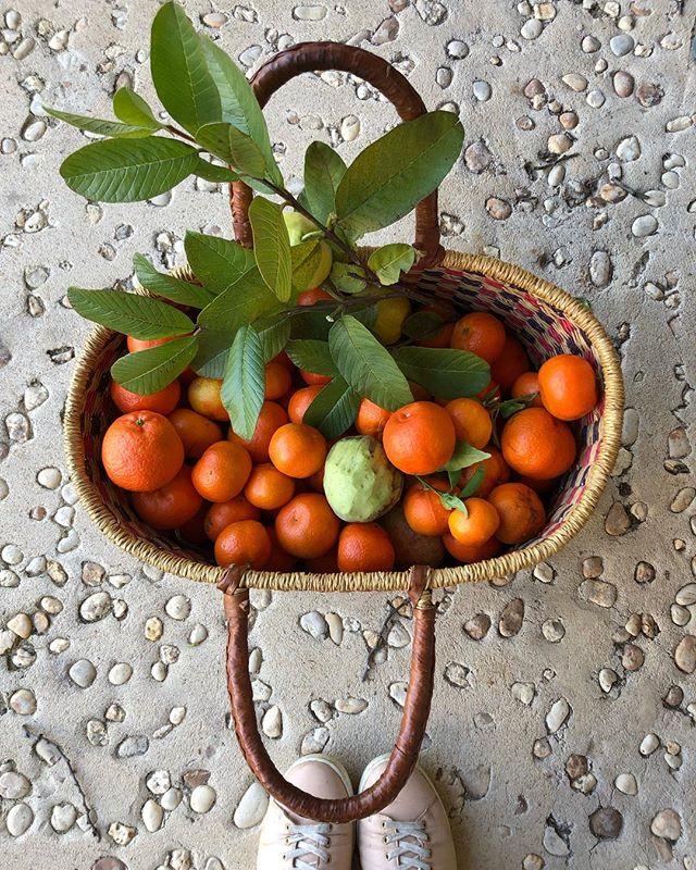 Fruta da época: tangerinas e as primeiras goiabas 🙌 . . . #organic #bio #fruits #fruta #healthy #frommygarden #algarve #cabanas