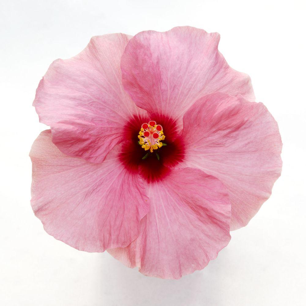 Adonicus Pink