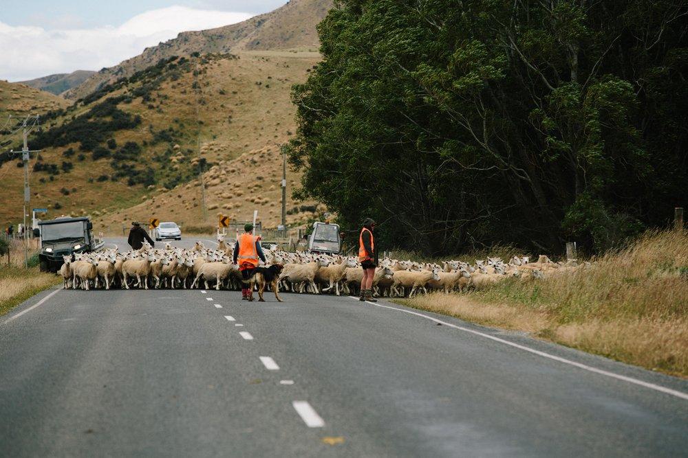 New Zealand-Sheep-Herders.jpg
