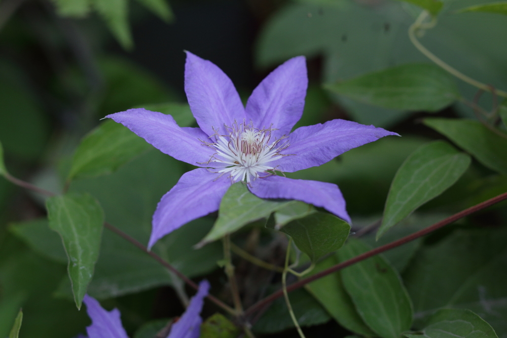 Clematis patens  from Manchurian seed
