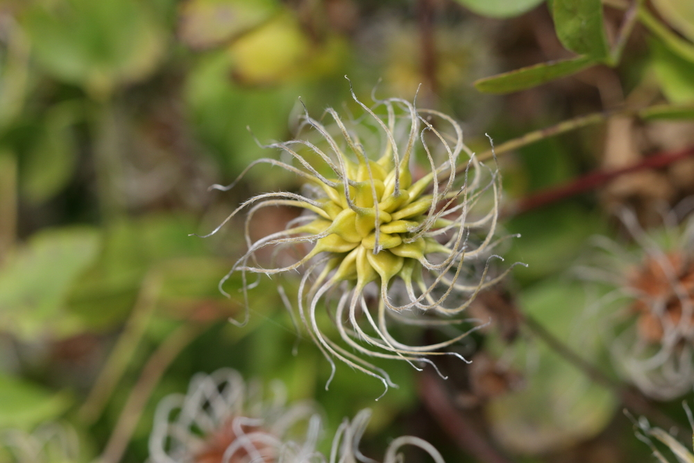 Large-flowered hybrid seed head