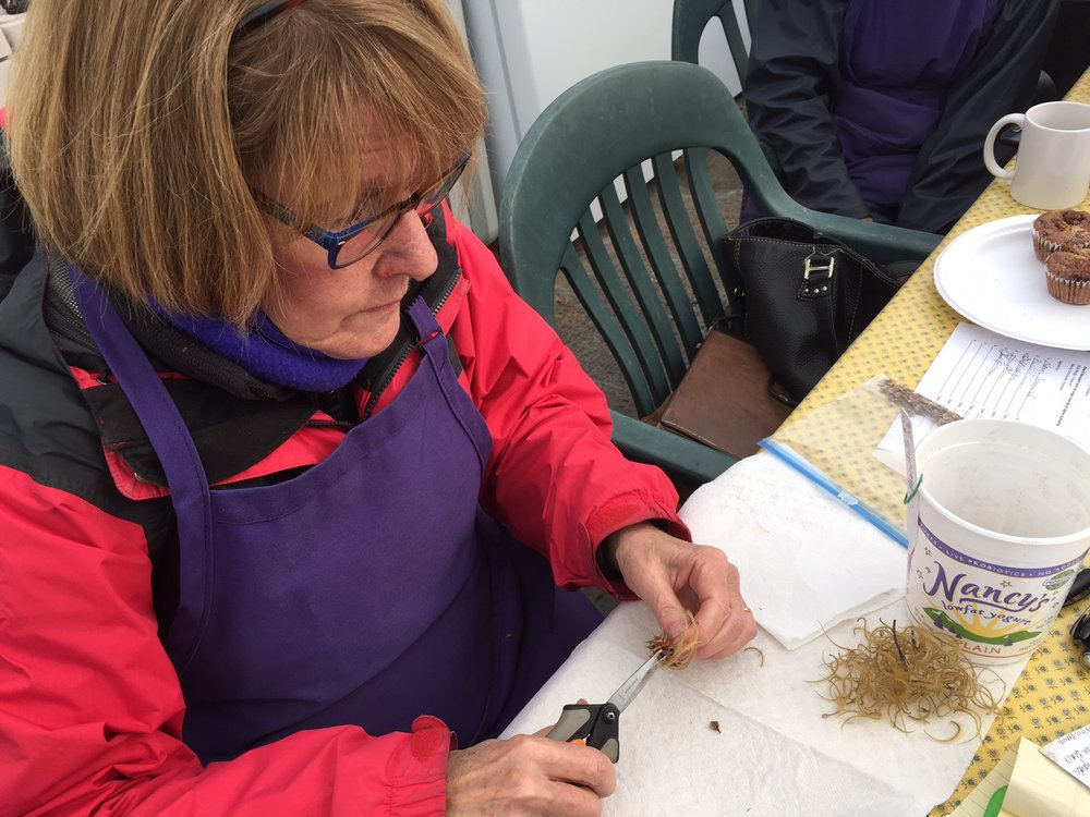 It isn't all brute labor. Here's Marilyn Norris, FRCC's 2016 Sharon Kaito Volunteer of the Year, cleaning and sorting clematis seed.