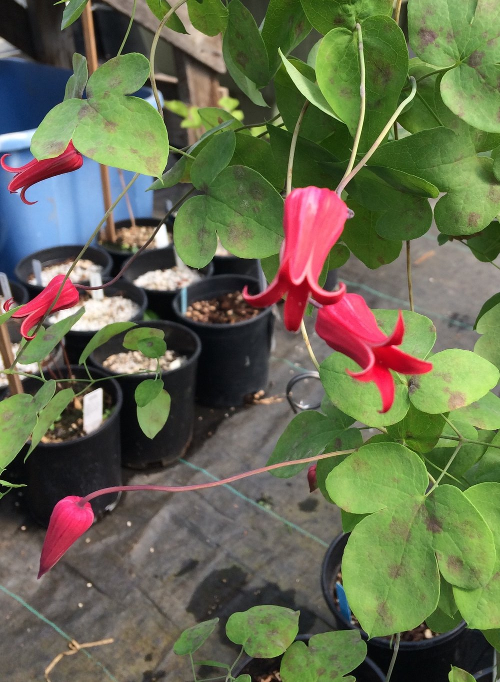 Clematis texensis , the red + red form, also known as the Tarpley River form. We believe the dark spots on the leaves are cellular damage from being watered on hot days. Maurice Horn at Joy Creek Nursery suggested this.