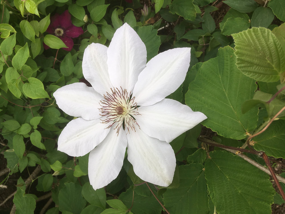 The pristine 'Halina Noll', bred by the same Polish clematarian who created 'Niobe'.