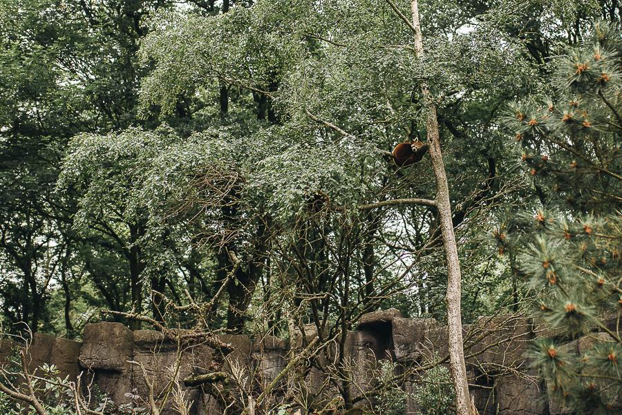 Spot the Red Panda...