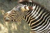 Zoo_Zebra.jpg