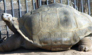 Galapagos Tortoise at America's Teaching Zoo