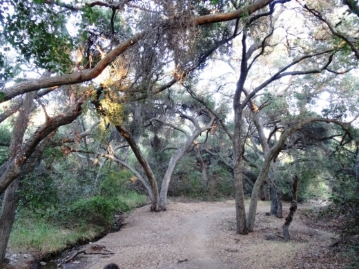 Surrounded by trees in the first section of the Los Padres Trail.